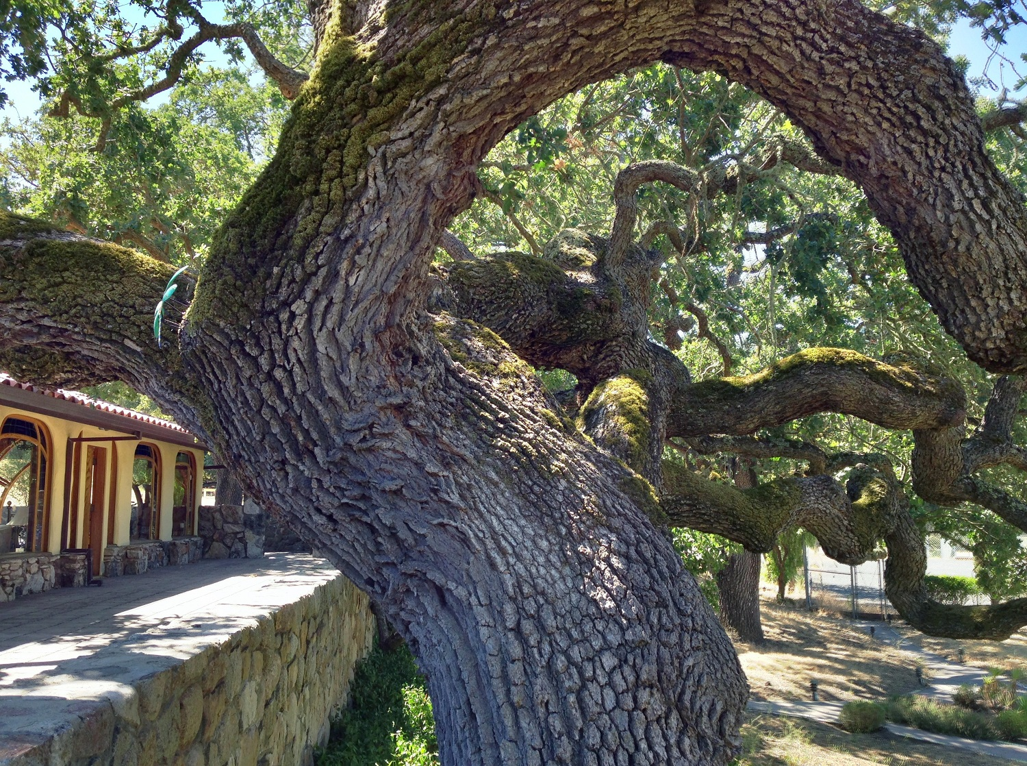 01_Great_Carmel_Valley_Oaks