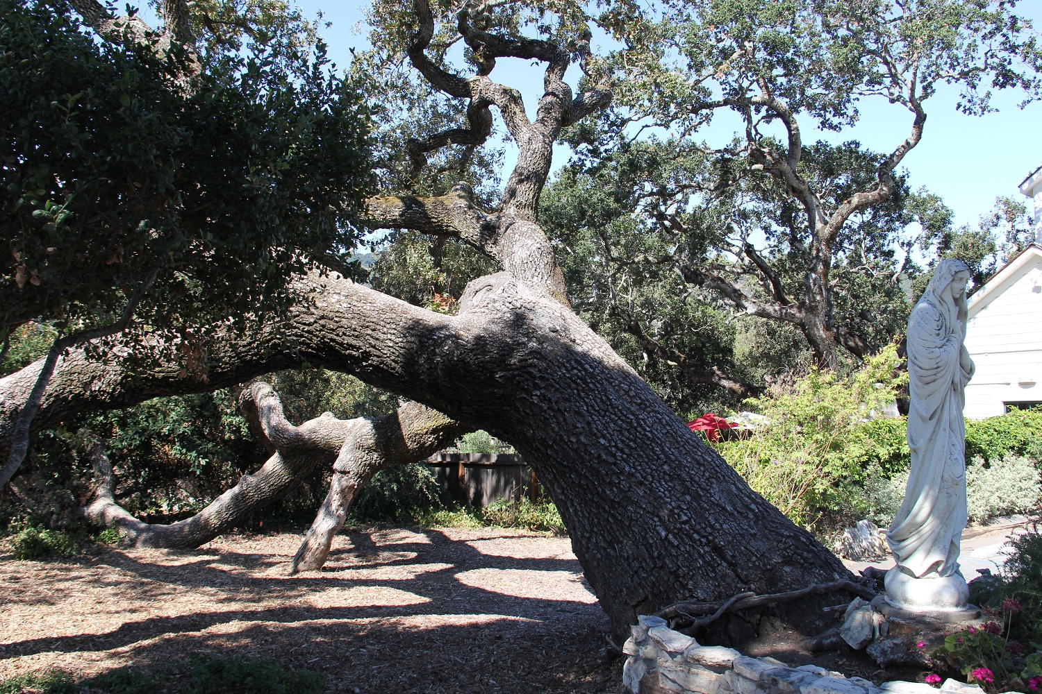 09_Great_Carmel_Valley_Oaks